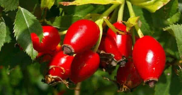 A csipkebogyó kiváló forrása a C-, E-, és K-vitaminnak, a pektinnek, a béta-karotinnak és a bioflavonoidoknak.