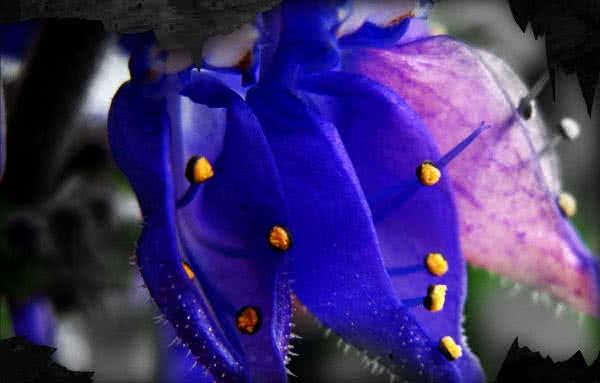 A Coleus forskohlii nem csak a forskolin miatt menő, dekornövényként is megállja a helyét