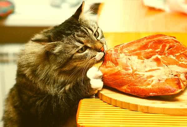 A macskák számára a taurin esszenciális
