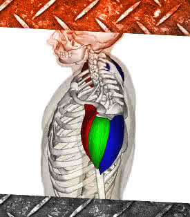 A vállizom anatómiája: anterior, medial és posterior deltoid