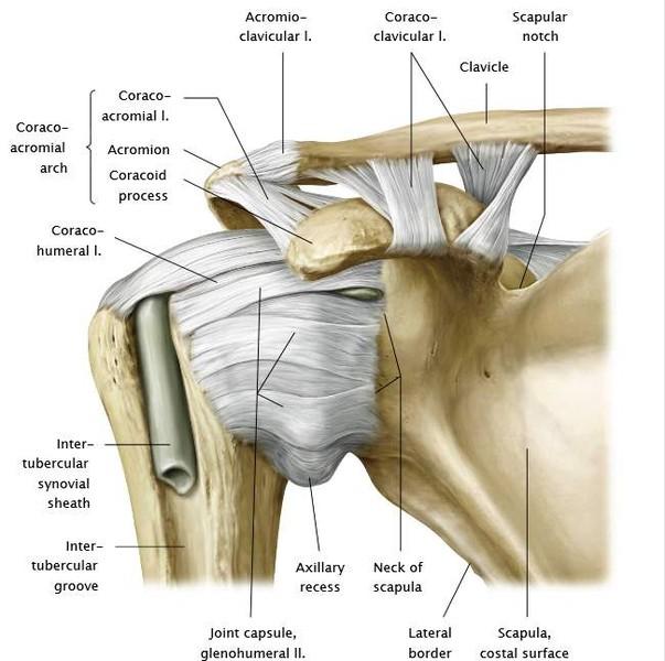 a clavicularis vállízület ízületi gyulladása trental gyógyszer az ágyéki csontritkulás kezelésére